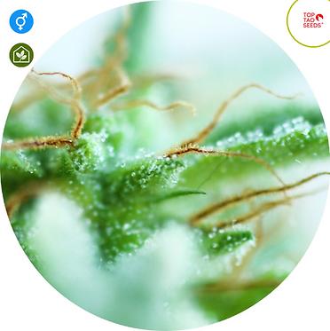 Sativa Mix Regular Seeds - 6 from Top Tao Seeds