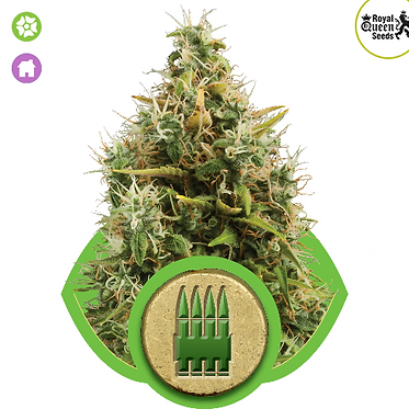 Royal AK Auto Feminised Seeds from Royal Queen Seeds