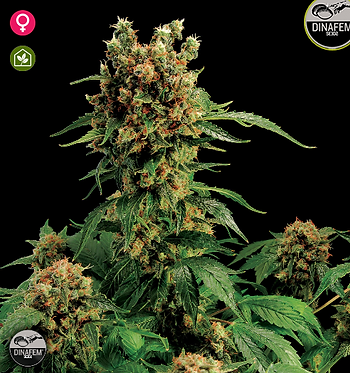 California Hash Plant Feminised Seeds from Dinafem Seeds