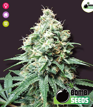 Kush Bomb Feminised Seeds from Bomb Seeds