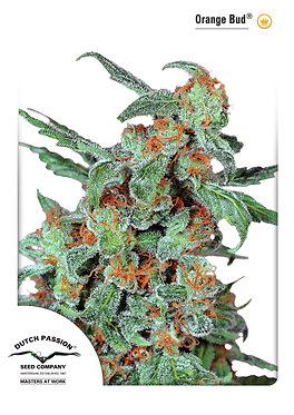 Orange Bud Feminised Seeds from Dutch Passion