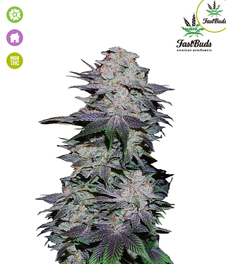 Blackberry Auto Feminised Seeds from FastBuds Seeds