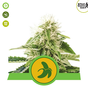 Fat Banana Auto Feminised Seeds from Royal Queen Seeds