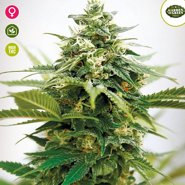 Critical XXL Feminised Seeds from Garden Of Green