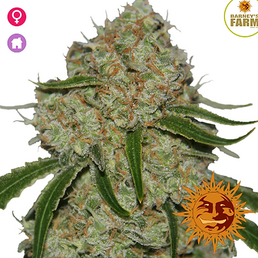 Phantom OG Feminised Seeds from Barney's Farm Seeds