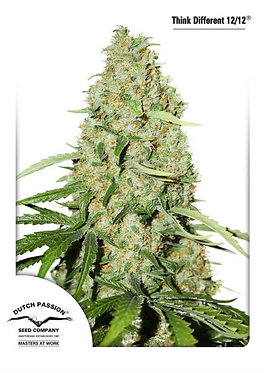 Think Fast Feminised Seeds from Dutch Passion