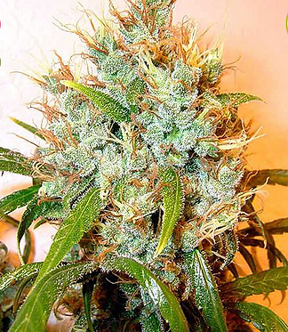 Kali Mist Feminised Seeds - 6 from Serious Seeds