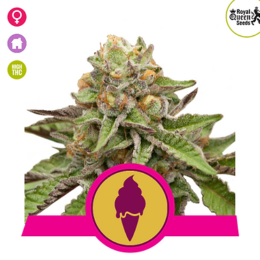 Green Gelato Feminised Seeds from Royal Queen Seeds