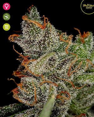 King's Kush Feminised Seeds from Greenhouse Seed Co.