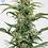 Thumbnail: Dinamed CBD Auto Feminised Seeds
