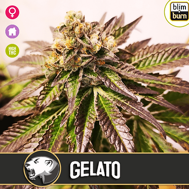 Gelato Feminised Seeds from BlimBurn Seeds
