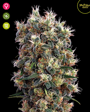 The Church Feminised Seeds from Greenhouse Seed Co.