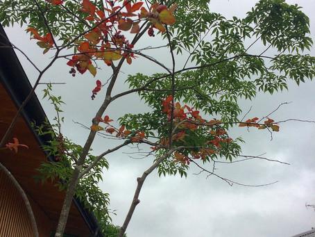 ナツハゼ。もう紅葉し始めました。