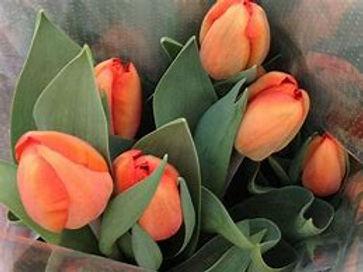 coral tulip.jpg