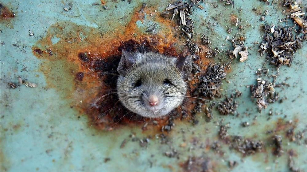 Una rata saca la cabeza por un orificio de un cubo de basura en el distrito neoyorquino de Brooklyn / LUCAS JACKSON (REUTERS)