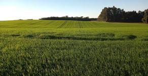 Santa Catarina projeta aumento de 18% na safra de trigo