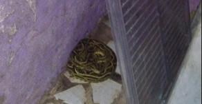 Após localização de cobra Jararaca dentro de casa no Oeste, Bombeiros fazem alerta