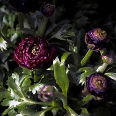 """""""Ranunculus"""" 2013"""