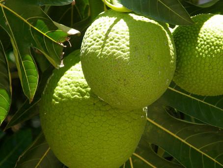 Caribbean Market: Breadfruit
