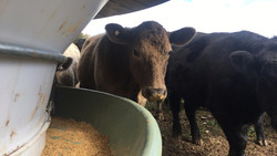 OUR CATTLE FEEDER IS SAFER FOR COWS