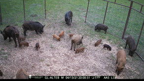 Ethical Hog Removal Protects The Lone Star State