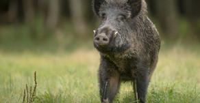 Understanding Feral Hogs