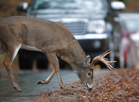 Safety Tips: Avoiding Deer On The Roadway