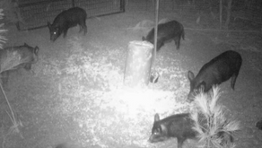 Dealing With The Feral Hog Population Crisis In Texas