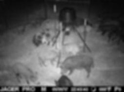 Hog Removal Amarillo TX