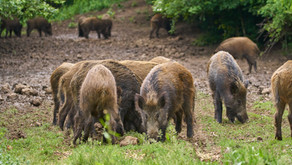 Feral Hogs and Their Impact on the Environment