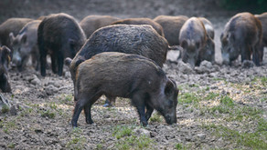 The Facts: Feral Hogs