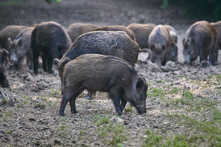 Wild Hog Removal Texas