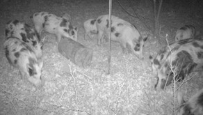 What Are The Signs Feral Hogs Are On My Property?