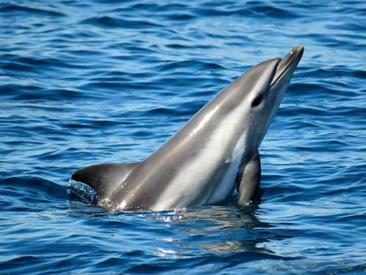 ¿Sabías que descubrieron el primer delfín híbrido del mundo?