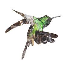 Kolibri_Influence