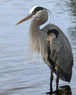 Great_Blue_Heron_n09-1-076_l_0 (2).jpg