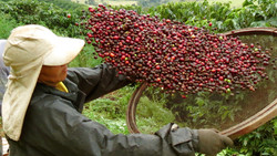 Edilene - Coffee harvesting