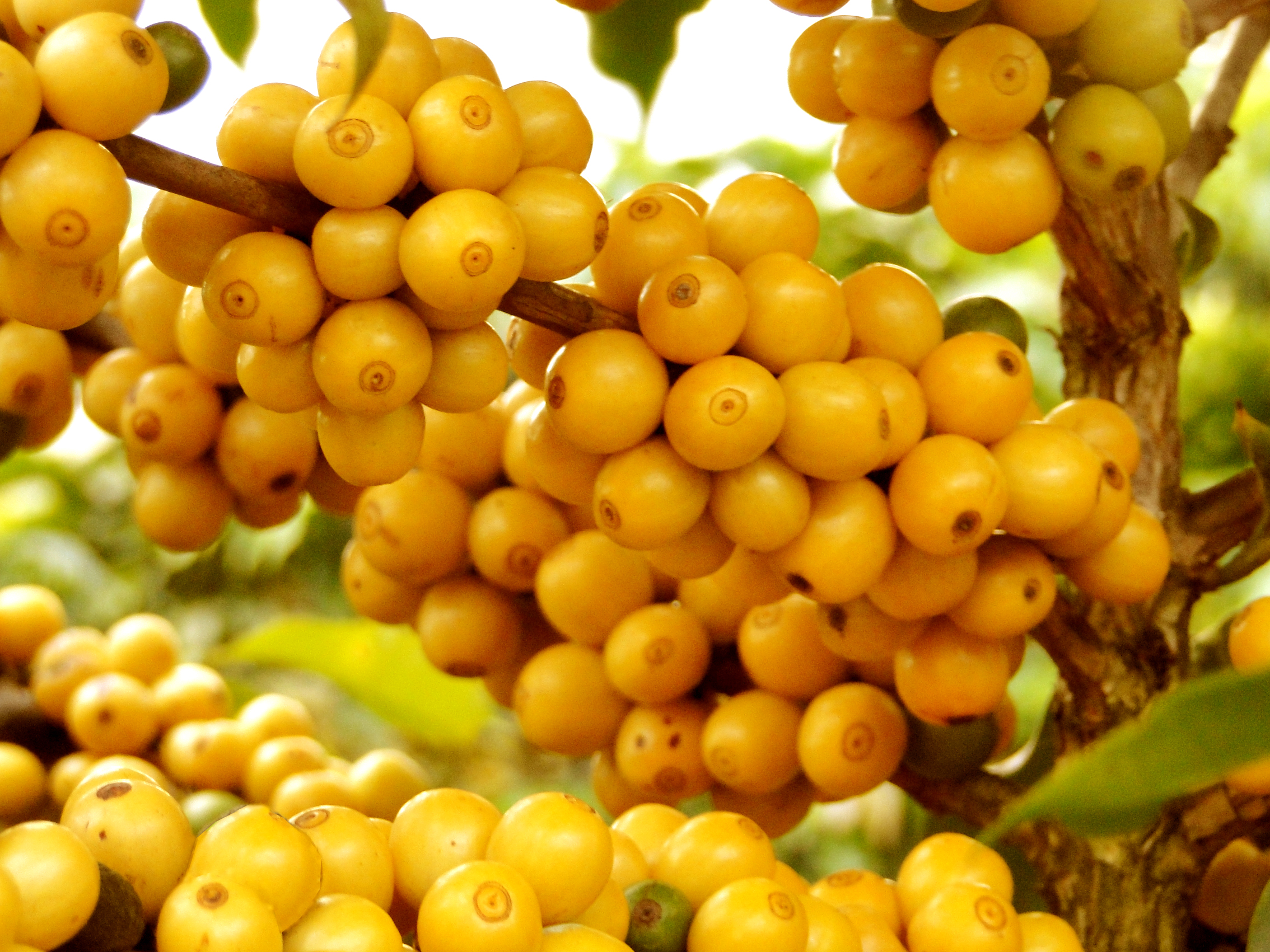Yellow Catuaí