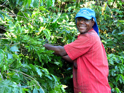 Coffee Harvesting 2014