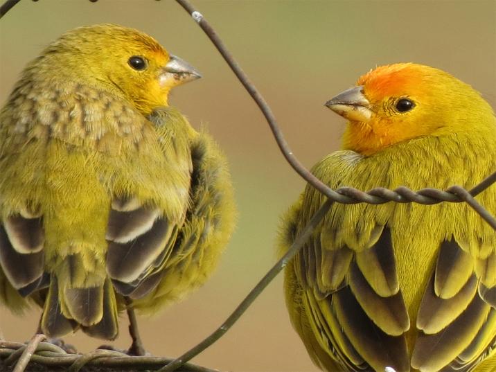 Couple_canarinho da terra