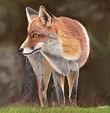 John Red Fox_edited-1 copy.jpg