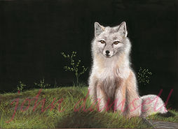 Steppevos Whie FoxImage size 390 x 285cm Pastel Photo Ref David Stribbling Price £450.00 includes a frame