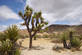 CA_Joshua_Tree_NP_Pinto_Basin_Road_2.jpg
