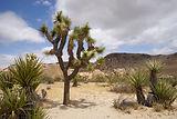 CA_Joshua_Tree_NP_Pinto_Basin_Road_2.jpg