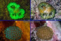Reclutas de coral