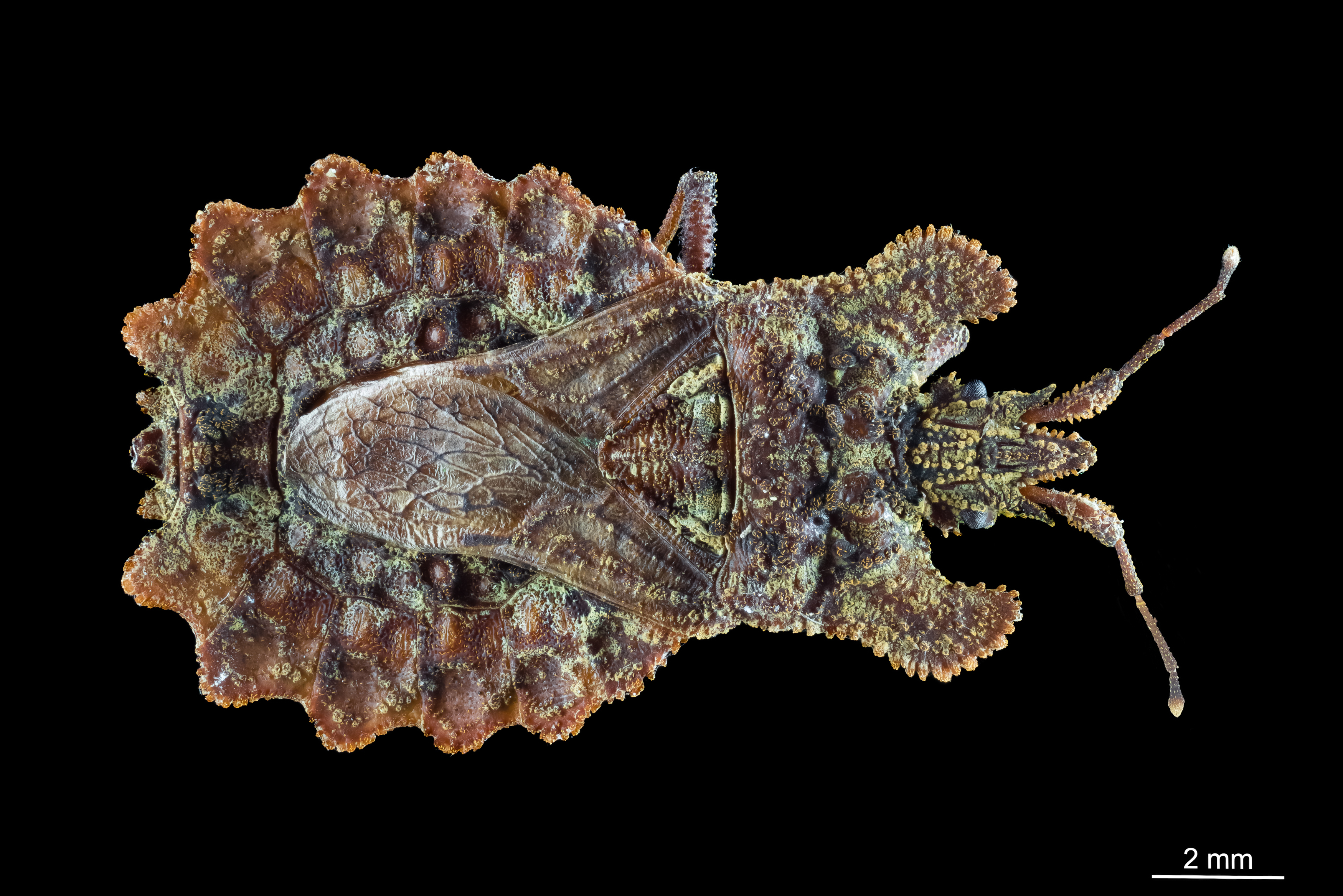 Hemiptero corteza (Aradidae)