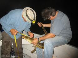 Midiendo cocodrilo