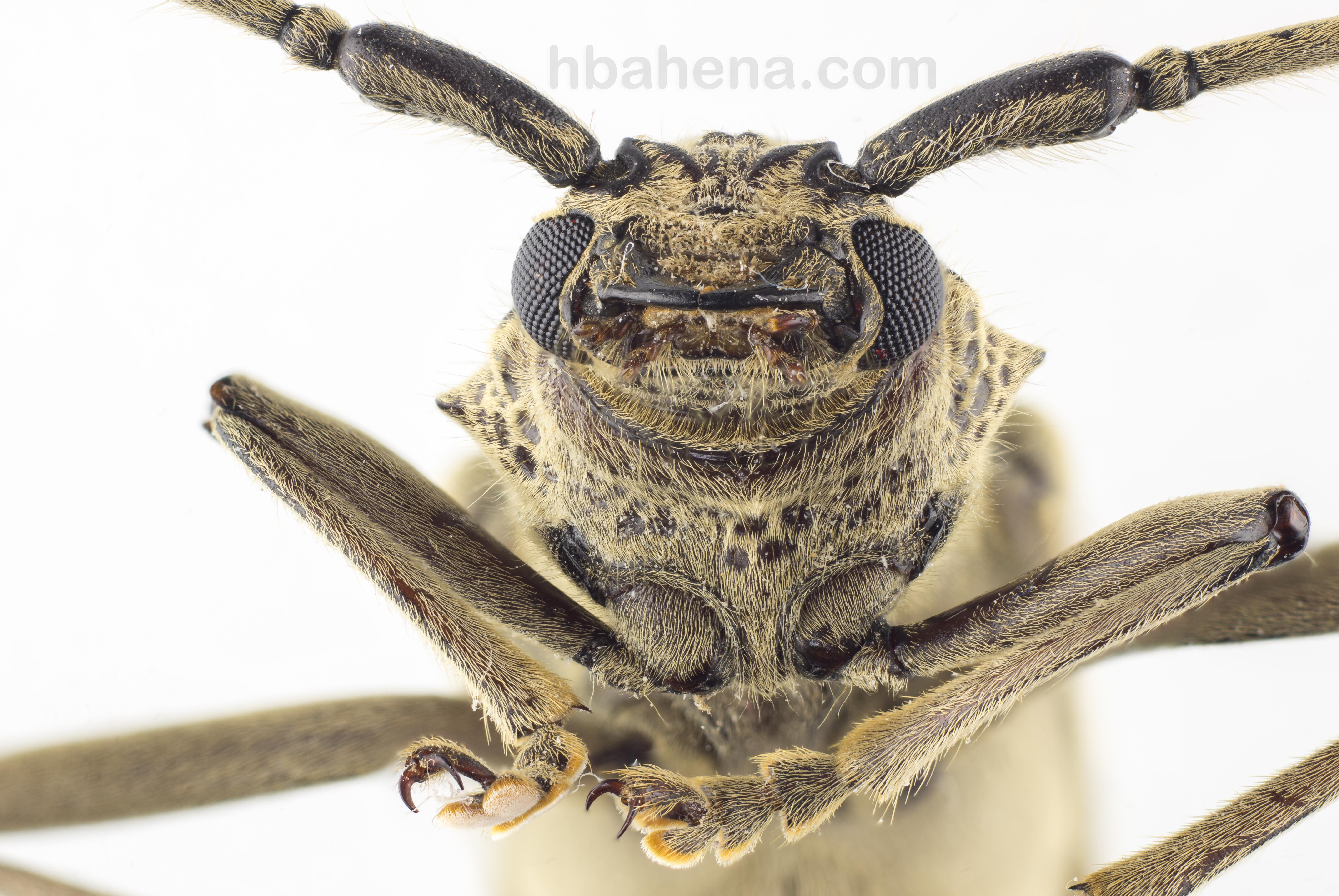 Escarabajo frente ventral