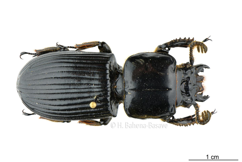 Escarabajo pasálido