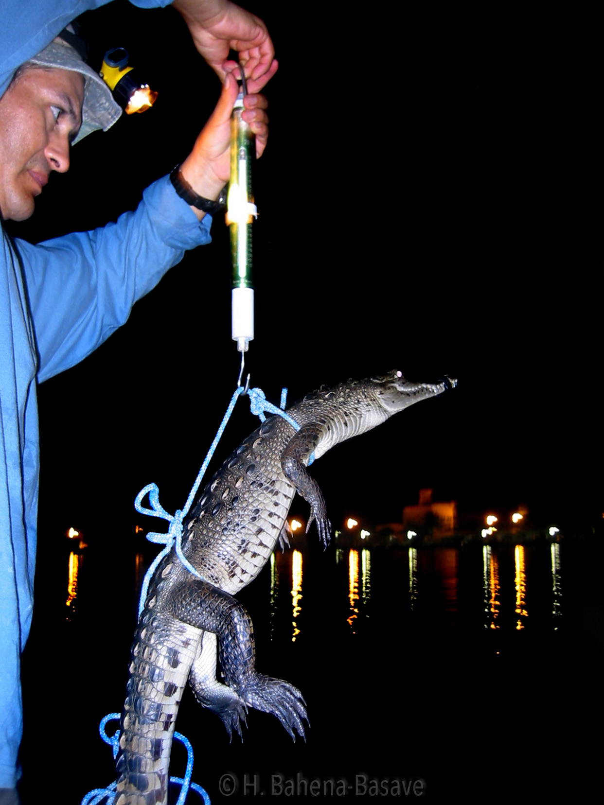 Pesando un cocodrilo